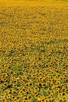 Sunflower fields, Grant (near the Colorado state line), near Goodland, Western Kansas USA.// by Blaine Harrington III Happy Flowers, Flowers Nature, Wild Flowers, Beautiful Flowers, Beautiful Places, Sun Flowers, Sunflower Garden, Sunflower Fields, Flower Beds