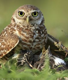 Burrowing Owl and Chick, Cape Coral, Florida. Photography by Megan Lorenz, via Daily Mail
