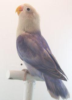 Agapornis Fischer Sable Arlequin cobalto violeta