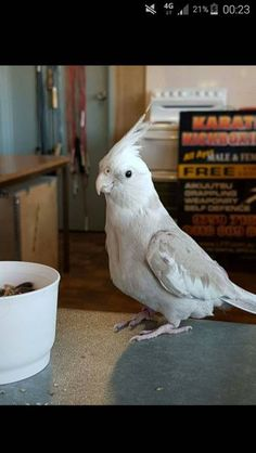 LOST COCKATIEL: 18/06/2016 - Berwick, Victoria, VIC, Australia. Ref#: L24982 - #ParrotAlert #LostBird #LostParrot #MissingBird #MissingParrot #LostCockatiel #MissingCockatiel