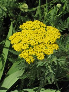 2012 Year of the Herbs: Yarrow