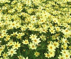 Coreopsis (Threadleaf) - verticillata 'Moonbeam'  Coreopsis 'Moonbeam' has creamy yellow flowers and blooms profusely throughout the summer. Small, daisy-like flowers will continue to bloom without the need for deadheading but for even more blooms and extend bloomtime, remove the faded flowers. Tolerates dry sites and is suitable for perennial border, naturalizing or rock gardens. Also effective in native plant gardens or cottage gardens. Good plant for areas with poor, dry soils.