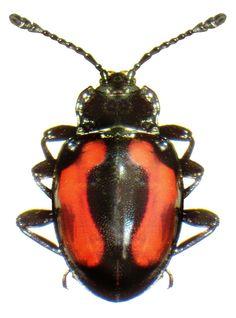 Amphisternus alberti