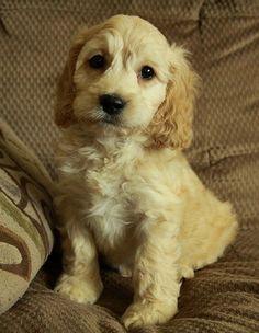 Gorgeous Cockapoo puppy!