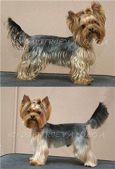 Yorkies, Biewer Yorkie, Yorkie Puppy, Chien Yorkshire Terrier, Yorkshire Terrier Haircut, Dog Grooming Styles, Dog Grooming Tips, Cortes Poodle, Yorkie Cuts