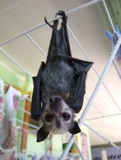 cutest fruit bat ever! Beautiful Creatures, Animals Beautiful, Cute Animals, Unique Animals, Murcielago Animal, Bat Animal, Bat Flying, Baby Bats, Fruit Bat