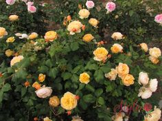 We've compiled a list of the easiest roses to grow.your foolproof rose growing guide so that no matter where you are, how minimal your gardening skills, you'll be able to enjoy a beautiful rose garden! Thornless Roses, Shrub Roses, David Austin Rosen, Rose Care, Simple Rose, Rose Leaves, Growing Roses, Roald Dahl, Beautiful Roses