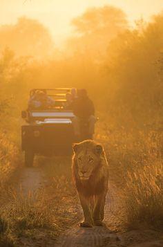 Lion on Safari in the Kruger National Park