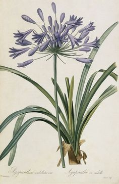 Agapanthus by Redoute