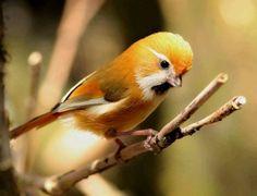 Gold parrotbill
