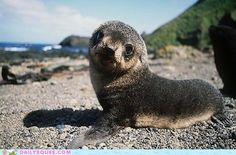 Little seal pup want to play in the sand with you!
