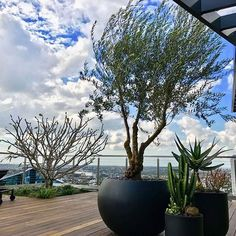 How about this rooftop garden by @martinbrothers_contracting!!! And that Frangipani set into the deck!  .  .  .  #rooftopgarden #balconygarden #citygarden #aviewfromabove #gardenpots #planters #pots #frangipani #homedesigninspo #landscapedesign #gardenarchitecture #gardendesign #gardeninthesky