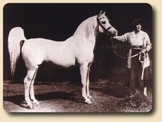 "One of the last photos of Lady Wentworth with Skowronek, one of the founders of Welara pony, as well as Arabian horses throughout the world. Lady Judith Wentworth is quoted as having written and also stated she considered the ""Welsh - Arabian as a cross produced the most beautiful pony on the face of the earth"". Img: American Welara Pony Registry history - Crabbet Park Stud. Arabian Stallions, Appaloosa Horses, Friesian Horse, Andalusian Horse, Beautiful Arabian Horses, Most Beautiful Horses, Pretty Horses, Horse Ears, Horse Silhouette"