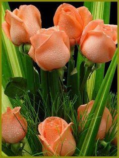 Roses naranjas.