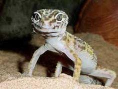 Feeding Geckos – Mealworms or Crickets?