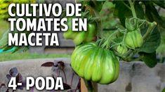 Cultivo de Tomate Parte 4 - Por Qué transplantar - Como podar @cosasdelj...