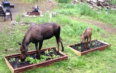 Rural Revolution: And I thought MY garden deer were bad...