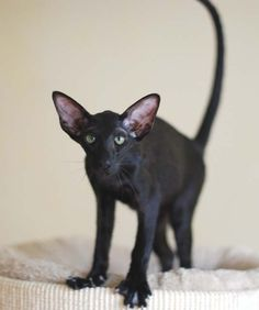 25 Things You Didn't Know About The Oriental Shorthair - meowlogy Pretty Cats, Beautiful Cats, Kittens Cutest, Cats And Kittens, Cats Meowing, Dobby Cat, Oriental Shorthair Cats, Oriental Cat, Domestic Cat