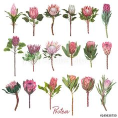 Birthday Card Illustration Hand Drawn Valentines Day Ideas For 2019 Flor Protea, Protea Art, Protea Flower, Watercolor Paper Texture, Watercolor Flowers, Watercolour, Botanical Art, Botanical Illustration, Rose Gold Texture