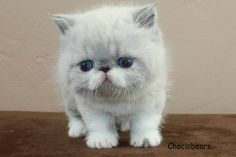 Choclobears Cattery Blue Point and White Exotic Shorthair Kitten
