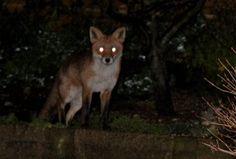 fox at night Dark Tales, Scary, Creepy, She Wolf, Southern Gothic, Naruto Uzumaki, Cute Animals, Nocturnal Animals, Beast