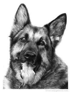 German Shepherd Pencil Drawing by Lisandro Pena