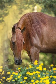 Chestnut horse with dandelions ! All The Pretty Horses, Beautiful Horses, Animals Beautiful, Animals And Pets, Cute Animals, Chestnut Horse, Majestic Horse, Horse Ranch, Equine Photography