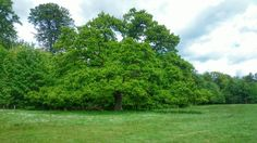 Magnificent tree. Denmark. Taken with Sony Xperia Z1 smartphone.