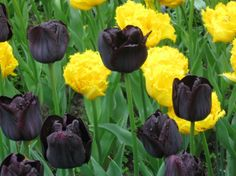 Black and Yellow Tulips - The contrast of the black and yellow tulips was stunning!: Photo of Keukenhof Gardens and Tulip Fields Tour from Amsterdam by Viator user Sheila D Black Flowers, Butterfly Flowers, My Flower, Butterflies, Flower Centerpieces, Flower Decorations, Amsterdam Tulips, Royal Colors, Tulip Fields