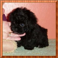 teacup poodle | ... Teacup Poodles, Tiny Toy and Toy Poodle breeder, Toy Poodle Puppies