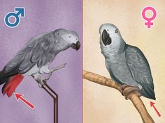 How to Determine the Sex of African Grey Parrots » VripMaster