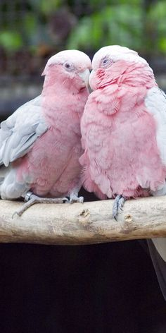 Soft Pink Love Birds