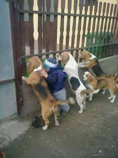 Curious Beagles and one child