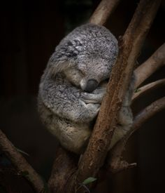Koalas sleep up to 20 hours each day.