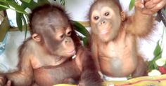 Need Some Cute? Here's Two Rescued Baby Orangutans On A Hammock, Eating Fruit | The Animal Rescue Site Blog
