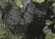 Chocolate tube slime molds (Stemonitis sp.), photo by Michael Beug. Mature stage.