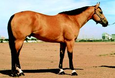 This is an example of a buckskin, one of AQHA's 17 recognized coat colors. (AQHA Photo) Get more coat color genetics information with AQHA's Quarter Horse Coat Colors eBook: http://americashorsedaily.com/quarter-horse-coat-colors/