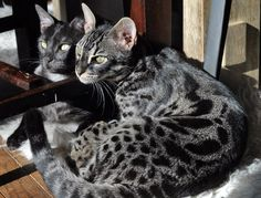 Pocket Leopards Nite Ryder (silver smoke bengal) and Lake Leopardz Viper (F1 charcoal brown bengal) side by side.