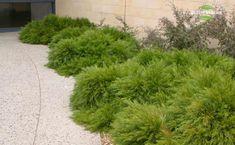 Acacia cognata 'Cousin It' or 'Mini Cog'
