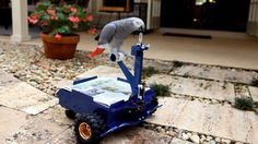 View the photo Man Builds Mini Car for Pet Parrot on Yahoo. Mini Car, N Animals, African Grey Parrot, Bird Feathers, Beautiful Birds, Pet Birds, Squirrel, Inventions, Something To Do