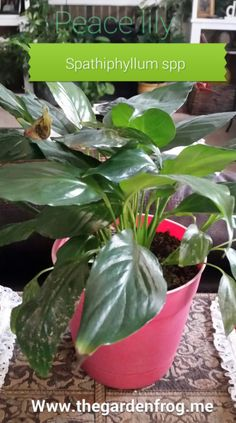 A great choice for a house plant- the Peace Lily Garden Frogs, Garden Plants, Peace Lily, Garden Projects, Houseplants, Home And Garden, Bloom, Pointers, Gardening