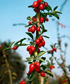 Goji Berry - Shrub Lycium barbarum Goji berries (Lycium barbarum) are delicious, edible fruits. The berries have a deep red colour and are...