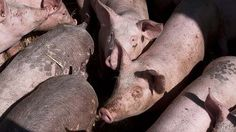 Sentient beings ... pigs being fattened for slaughter, in a file picture.