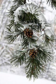 #Christmas #winter #photography idea Pinecones & snow ToniK Joyeux Noël takegreatpictures.com