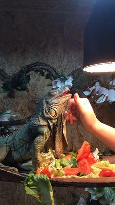 Iguana knuffelen