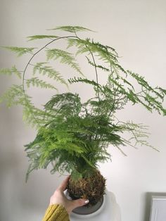 Beautiful Kokedama with Asparagus Fern