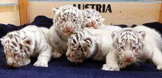 maliaria: Quíntuplos de tigre de bengala nascem em zoológico da Áustria