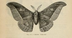 French Ephemera | Vintage Ephemera: French book engraving, moth, 1867