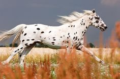 Leopard appaloosa horse running