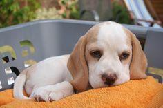 baby lemon beagle -- so sweet!